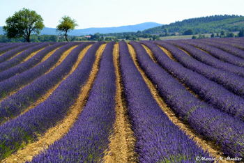 Lavender ready to harvest in deep purple mounds: Photo Copyright Marcia M. Mueller